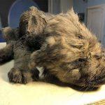 18.000 jaar oude bevroren Wolf-Hond puppy