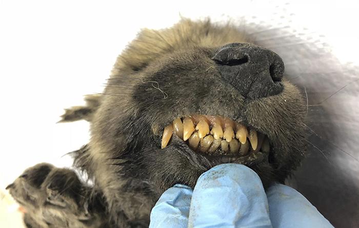 18.000 jaar oude bevroren Wolf-Hond puppy gevonden in Siberië