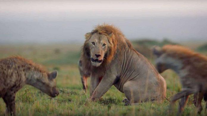 leeuw aangevallen hyena's