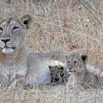Leeuwin adopteert babyluipaard