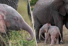 roze baby olifant