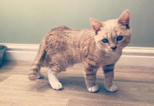 Kat dwerggroei kitten