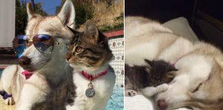 husky's redden kitten