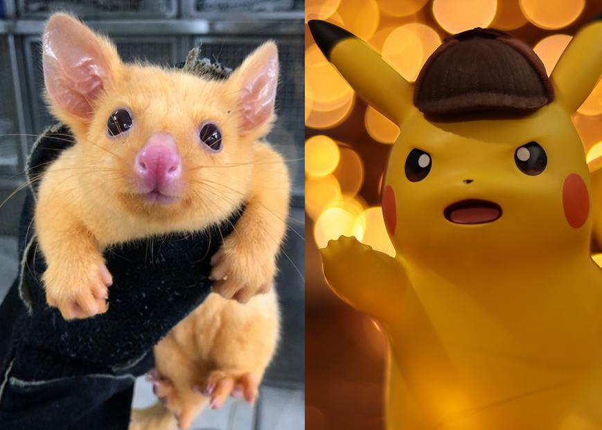 echte Pikachu
